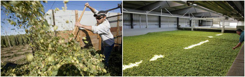 hops harvesting and drying