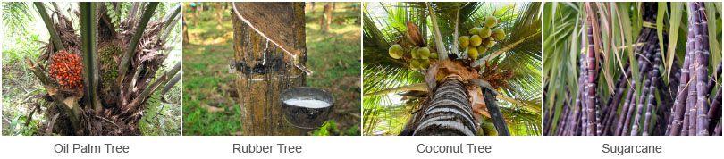 palm tree, rubber tree, coconut tree, sugarcane in indonesia